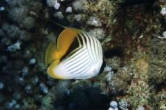 Wimpelfalterfisch